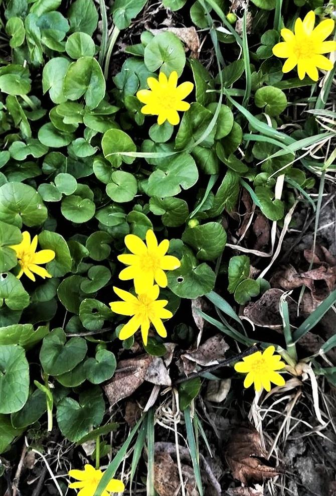 Ziarnopłon wiosenny,  (Ficaria verna Huds.)