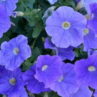 Błękitne petunie