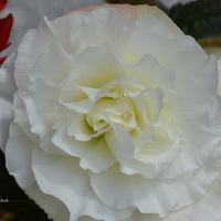 Biała begonia