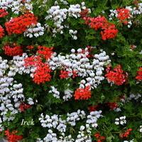 białe i czerwone kwiaty