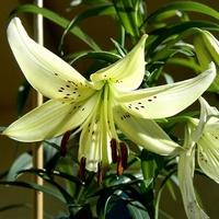 Dołączam z liliami:)