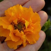 Kwiat kuklika :)