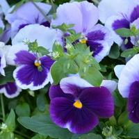 kwiatki bratki przypominają o sobie.