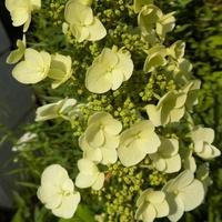 Kwiatostan Hortensji dębolistnej dokładniej :)