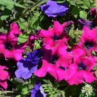 Kwiaty w kwietniku, petunie