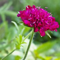 Kwiatek knautii