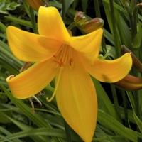 Kwitną liliowce :)