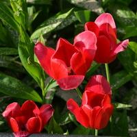 Kwitną niektóre tulipany.