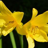 Liliowce żółte