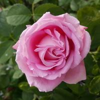 Miastowa róża....