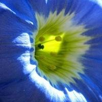 Nolana błękitna