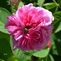 Obfita róża
