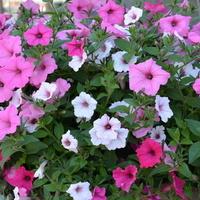 Petunia różnokolorowa