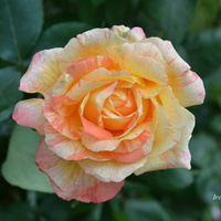 Róża bogata w płatki