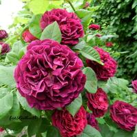 Róża 'Gipsy Boy'