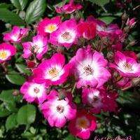 Róża 'Mozart'