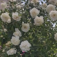 Róża przyblokowa....