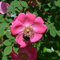 Róża różowa