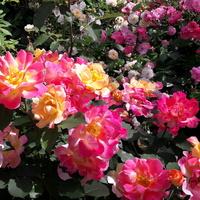 Róża 'Sekel'