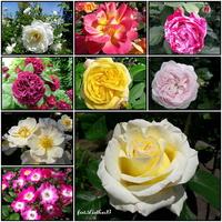 Róże królują w ogrodzie