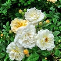 Róże,kwiaty wczesnego lata
