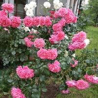 Róże podbalkonowe....