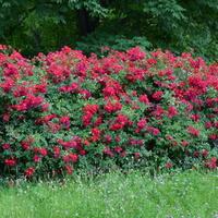 Róże w parku w moim mieście