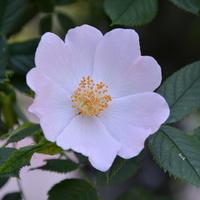 Różyczka prawie biała