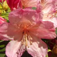 Rododendron jakuszimański nie zawodzi.