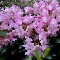 Rododendron różowy