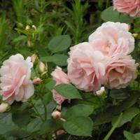 Senne róże :)