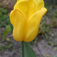 Tulipan żółty