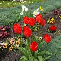Tulipany przy kościele...