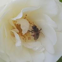 W środku pszczoła....