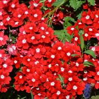 wesołe kwiatki, werbeny