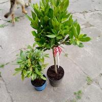 Zapasy liści prosto z drzewa ;)