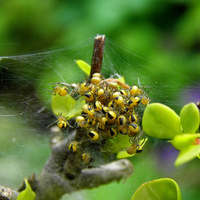 zmora arachnofoba