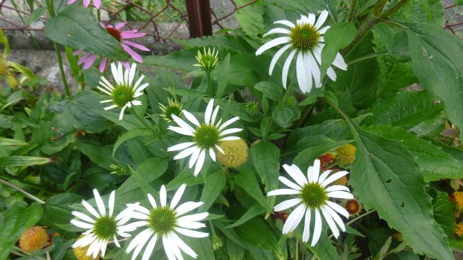 Biała kwitnie nieśmiało! :)