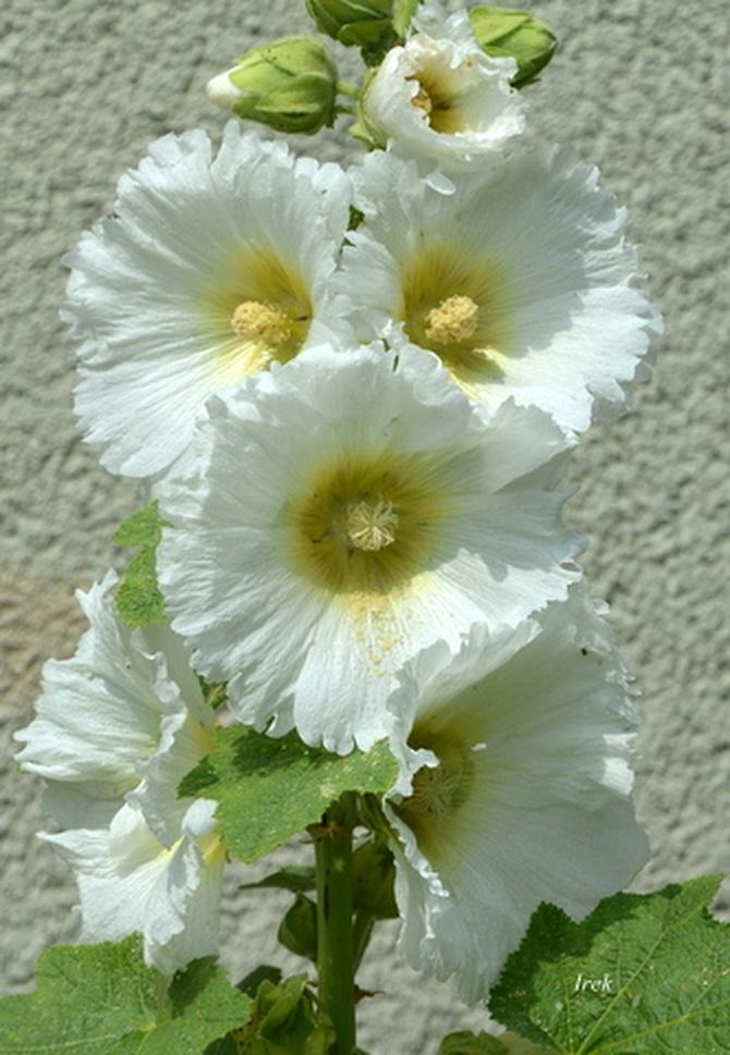 Biała malwa