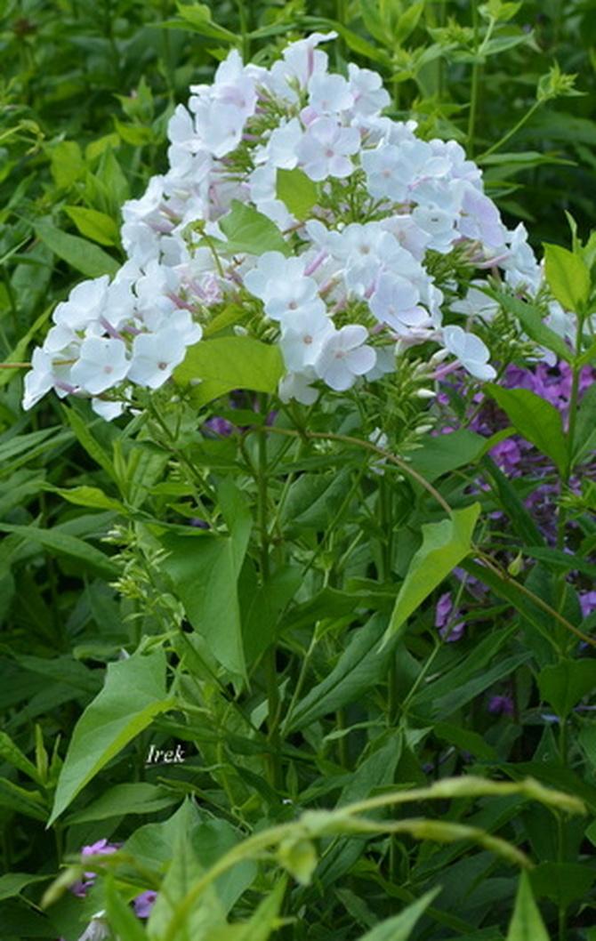 Biały floks z łodygą i liśćmi.