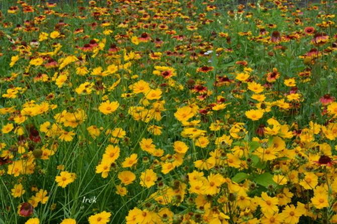 Całe pole kwiatów.