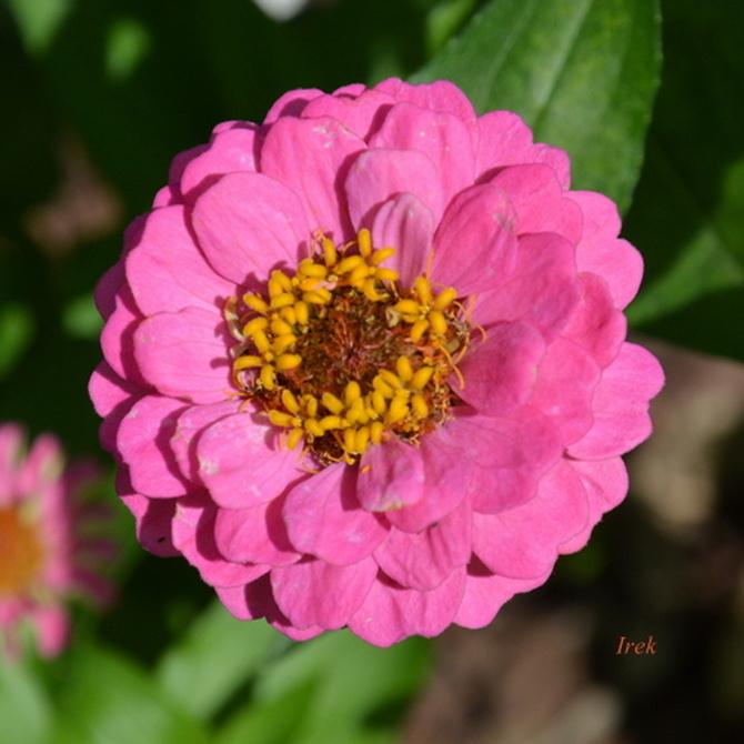 Cynia różowa