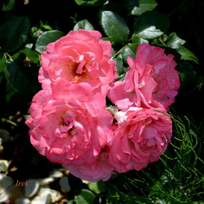 Cztery róże