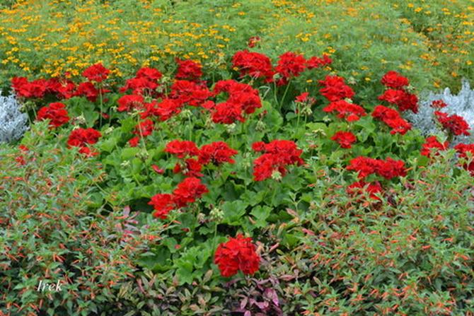 Gromada kwiatów - pelargonie