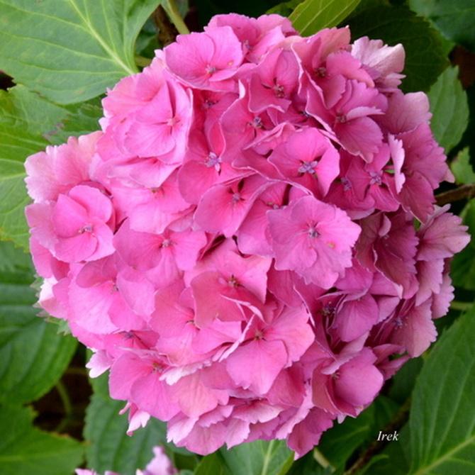 Hortensja o różowej barwie