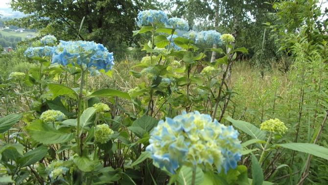 Hortensje będą niebieskie.