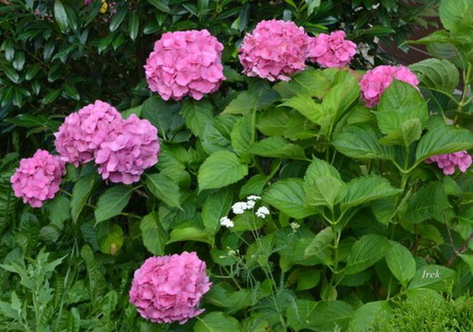 Hortensje różowe