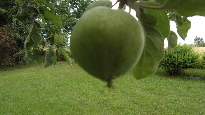 Jabłuszko sobie rośnie...