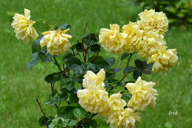 Krzak róż żółtych
