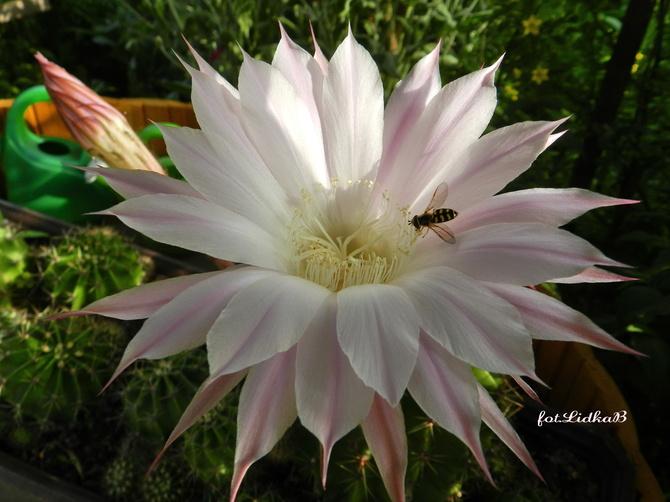 Kwiat jednej nocy